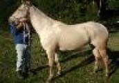 Good looking Friesian Horse for Sale