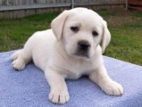 Good looking  Yellow Labradors For Sale