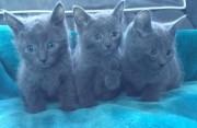Gccf Reg Russian Blue Kittens Ready For Adoption
