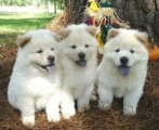 Well trained chow chow puppies available