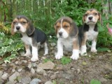 Tri Coloured Beagles Puppies Ready Now for sale.......