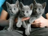 Excellent male and female Russian Blue Kittens Available For sal
