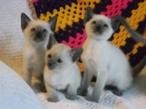 Siamese Kittens for adoption Six beautiful kittens For Rehoming