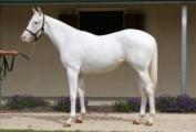 Pure white Arabian Mare!exotic White Silk horse for sale