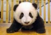 Healthy Panda For Adoption