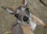 Kangaroo for sale