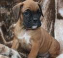 Cute and beautiful Boxer Puppies for Sale