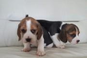 Tri Coloured Beagles Puppies Ready