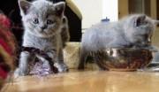 Britsh shothair kittens for sale