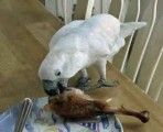 Beautiful male and female Umbrella Cockatoo Parrots for sale ..