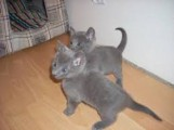 Charming Russian Blue Kittens Ready For sale