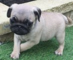 Black and Fawn Pug perfection Puppies Available