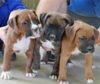 Stunning male and female Boxer Puppies for sale