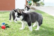 Purebred siberian husky puppies are available for re homing.