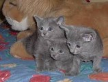 Currently Litter of 6 Russian Blue Kittens for Sale 3 Males and