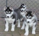 Two Blue Eyes SIBERIAN  HUSKY  Puppies