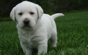 males and females Labrador Retriever Puppies.
