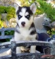 Blue eyes Siberian husky puppies,both male & female available