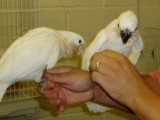 hand reared Umbrella Cockatoo for sale