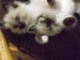 Gorgeous Ragdoll Kittens for sale...