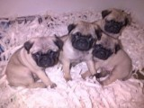 Awesome Pug Puppies For Sale