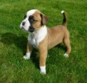 Cute Boxer Puppies Available