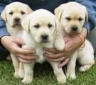 Two Cute Labrador puppies for sale