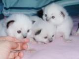 Gorgeous Pedigree Ragdoll Kittens for sale