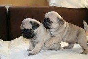 male and female Pug Puppies for Sale:12 weeks old