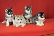 X. mas Adorable Siberian husky Puppies for sale