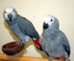 Male and Female African Grey Parrots for Sale,,
