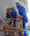 A Bonded Pair Of Hyacinth Macaw parrots for sale