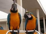 Two beautiful Blue and Gold Macaws