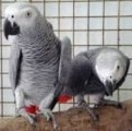 African Grey for Sale now