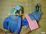 Hyacinth Macaw Parrot for Sale