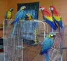 Male Blue and Gold Macaws With Cockertoo and Cage