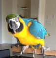 Blue & Gold Macaw-Macaw--14 months old--Tame--Super sweet