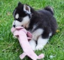 Charming Blue Eyes Siberian Husky Puppies for sale now.
