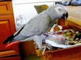 Cute female African Grey Parrot for adoption