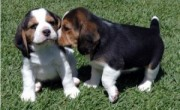 Male and Female Beagle Puppies For X-Mass,
