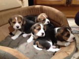 True Show Quality Kc Registered Beagle Puppies
