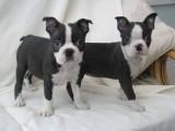 Beautiful Kc Reg Boston Puppies For Sale