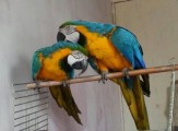 Blue Throated Macaws available for sale