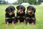Ready Now Gorgeous Chunky Kc Reg Rottweiler Puppies