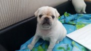 Stunning Kc Reg White Pug Puppies Ready