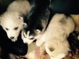 Tamed Akc/Ckc Reg~ Siberian Husky Puppies Good To Go
