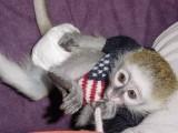 2 Lovely Capuchin Monkeys Now !!