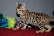 Bengal Kittens Available male & Female