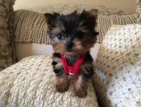 Male and female-Parti Yorkie For Sale