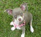 Chihuahua Purebred Puppy for sale